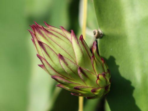 ankštiniai,pitaya gėlė,didelis pumpuras,budas,veislė,kaktusai,Drakono vaisius