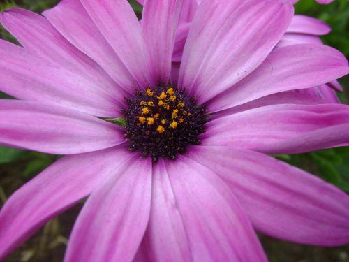 purpurinė gėlė,gėlė,violetinė,laukinė flora,gėlės,pavasaris,gamta,žiedlapiai,laukiniai,violetinė,grožis,sodas,purpurinė gėlė,augalai,purpurinės gėlės,laukas,spalvos,mora,išsamiai,spalvinga,žiedadulkės,fonas,tekstūra