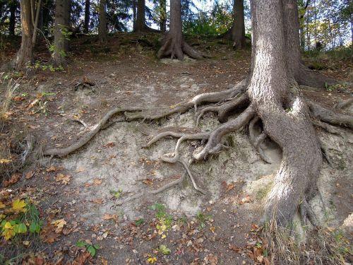 šaknys,medis,medžių šaknys,žemė,reljefas,suomių,gamtos nuotrauka