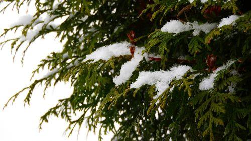 sniegas ant šakos,snieguotas medis,snieguotas,filialas,žiema,spygliuočių,túje,Tuja