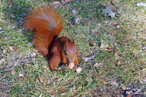 voverė,paklausti,rinkti,gyvūnas,graužikas,parkas,žolė,graikiniai riešutai,kita,ruduo,gyvūnai,gamta,ruda,laukiniai,Iš arti,uodega,vonios kambariai,Varšuva,spacer