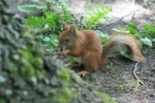 voverė,parkas,kita,ruda,graikiniai riešutai,gyvūnas,uodega,gyvūnai,graužikas,spacer,gamta,vonios kambariai,Varšuva,medis
