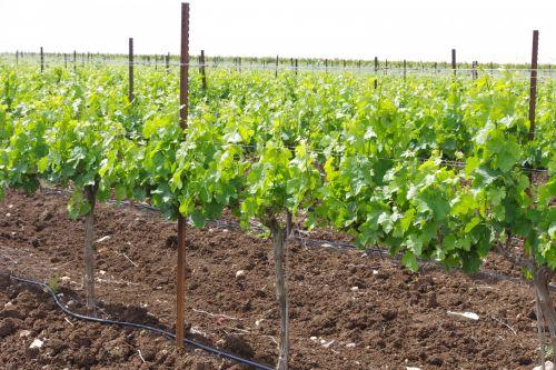 vynuogynas, augimas, vynas, vyno fabrikas, žalias, gamta, vynuogės, vynuogynas