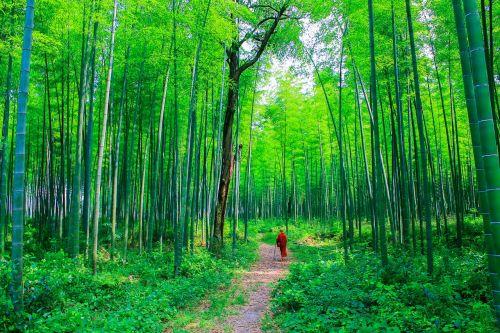 teravada budizmo,vienuolis bambuko miške,vienuolis gamtoje,bambuko miškas,bambukas,vienuolis,natūralus,gamta,bhikkhu,budizmas,kelionė,budistinis