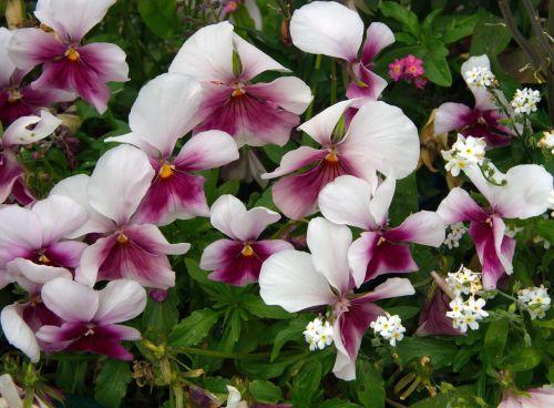 mąstymas,alto tricolor,altas,violaceae,jardiniere,purpurinė gėlė