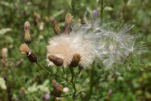 drakonas,sėklos,gamta,išblukęs,sėklos buvo,syklės sėklos,Uždaryti,vasara,augalas,dygliuotas,skraidančios sėklos,daugyba,minkštas,Lengvai,kelyje