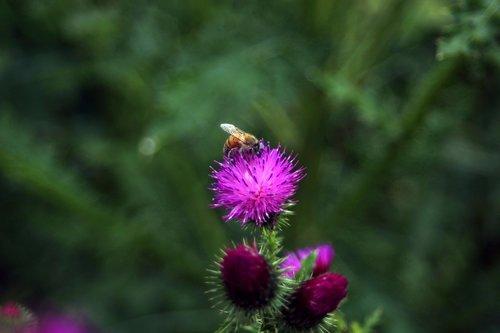 Thistle, Booger gėlės, booger usnis, Korėjos gėlių, gėlės, bičių, Re, laukinių, lauke, augalai, vabzdžiai, pavasaris, raudonos gėlės, raudona, gėlės viršūnės, kalnų, laukas, pavasario gėlės