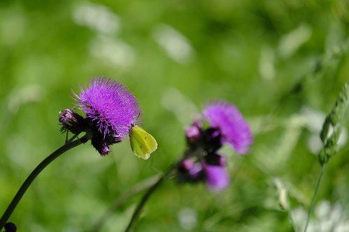 Thistle, Acker usnis, šliaužti usnis, kompozitai, Ostrożeń arvense, Cirsium, Asteraceae, žalia Pelėsiniai balta, Pieris Napi, žalia venų balta, drugelis, drugeliai, balta molva, baltukai, gėlė, žiedas, žydi, violetinė, Violetinė