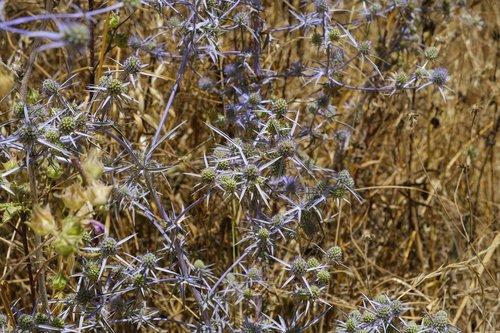 Thistle, mėlyna usnis, blaudistel, Asteraceae piktžolės, vaistinių augalų, augalų, laukinių gėlių, smailu gėlė