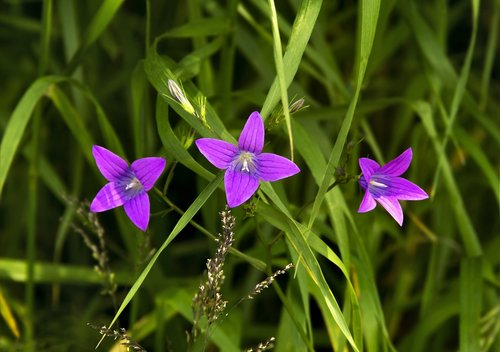trys gėlės, trijų žvaigždučių, gėlės srityje, praeitis, tikras, ateitis, violetinės gėlės, natūralus, momentas, žolė, pobūdį, dėmesio, makro, gėlės, pavasaris, floros, spalvinga, meadow, sodas