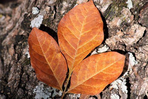 gamta, augalai, medžiai, lapai, auksas, aukso & nbsp, aukso & nbsp, spalvos, trys, ruduo, kritimas, kritimo & nbsp, spalva, melas, kerpės, kerpiai & nbsp, medis & nbsp, filialas, galūnė, trys aukso rudens lapai