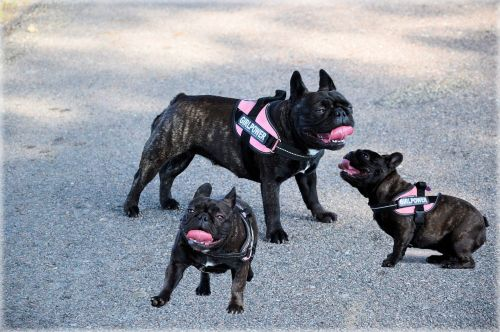 šuo, 3 & nbsp, kartus, naminis gyvūnėlis, buldogas, tris kartus vienas