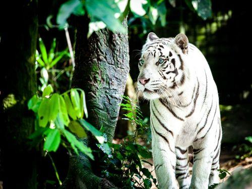 tigras,baltasis tigras,Wildcat,balta königstieger,katė,Singapūro zoologijos sode,didelė katė