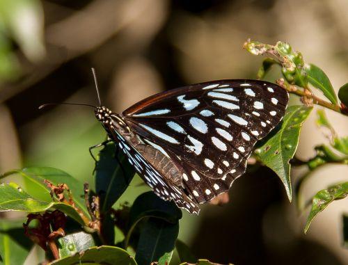 tigro mėlynas drugelis, drugelis, juoda, mėlynas, vabzdys, sparnai, modelis, Queensland, australija