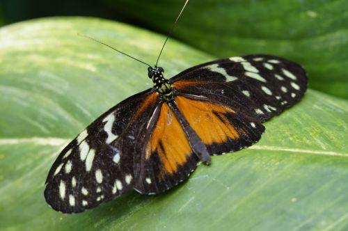 tigras ilgas,drugelis,atogrąžų,egzotiškas,exot,passionblume drugelis,sparnas,lapai,skleisti,Uždaryti