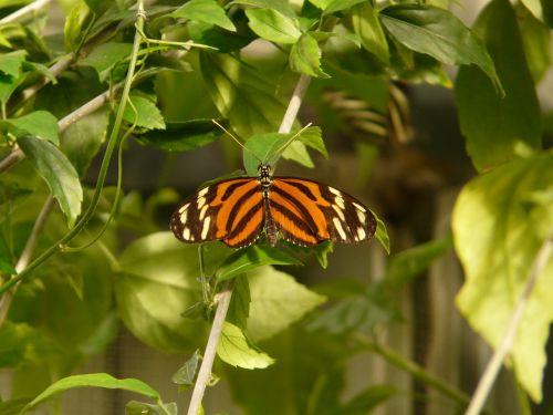 tigro aistros,drugelis,heliconius ismenius,lentinas passionsblumenfalter,drugeliai,lepidoptera,edelfalter,nymphalidae,heliconius,oranžinė,balta,juoda,dryžuotas,gyvūnas,vabzdys,egzotiškas,atogrąžų