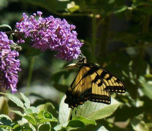tigro lazdelė,drugelis krūmas,drugelis,vabzdys,gyvūnas,gėlė,žiedas,žydėti,sodas,krūmas,gamta,sparnuotas,geltona,violetinė,rytas,natūralus,flora,fauna,laukiniai