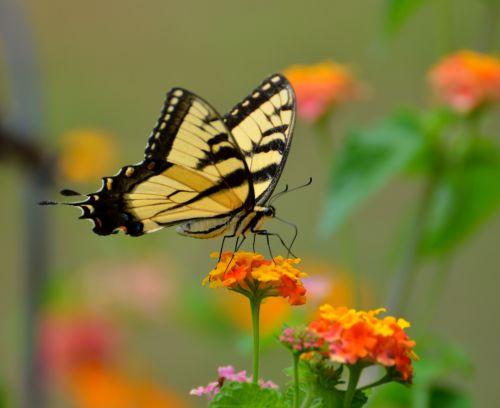 swallowtail, drugelis, vabzdys, gamta, kraštovaizdis, sodas, grožis, lauke, spalvinga, lantana & nbsp, gėlė, tigro swallowtail drugelis