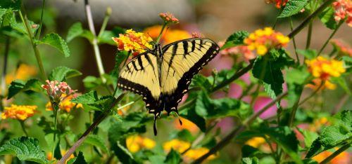 drugelis, vabzdys, tigras & nbsp, lazdelė, gamta, laukinė gamta, kraštovaizdis, lauke, sodas, tigro swallowtail drugelis