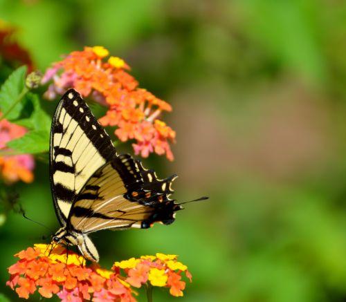 tigras & nbsp, lazdelė, drugelis, gamta, vabzdys, sparnai, grožis, gėlės, lantana, lauke, kraštovaizdis, sodas, tigro swallowtail drugelis