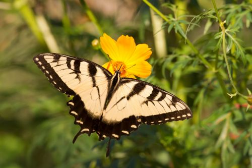 drugelis, gamta, vabzdys, tigro swallowtail drugelis