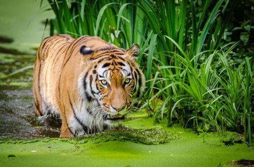 Kačių,  Didelis,  Katė,  Kailis,  Juostelės,  Plėšrūnas,  Gamta,  Karalystė,  Gražus,  Gyvūnas,  Laukinė Gamta,  Gyvenimas,  Laukiniai,  Gyvūnai,  Kraštovaizdis,  Mėsėdis,  Žinduolis,  Sibiro Tigras,  Laukinė Gamta