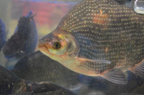 žuvis, tilapija, cichlid, rūšis, svarstyklės, fin, pelekai, Fisheye, žuvis & nbsp, bakas, tilapijos žuvis