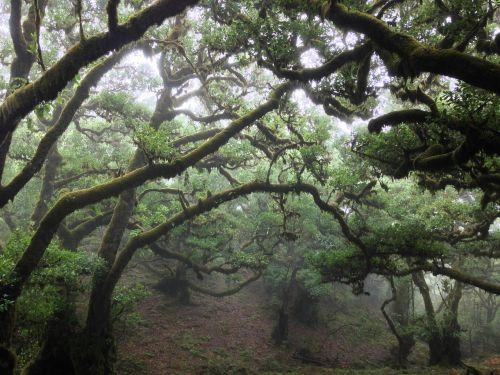 Tildė,medis,skraidantis,senas medis,gamta,šakelės,bagažinė,miškas,kraštovaizdis,mediena,parkas,žalias,drėgnas medis,grybai,drėgmė,laurisilva,natūralus