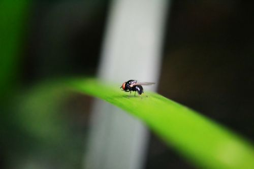 mažas skristi,skristi,intarpas,kenkėjas,gyvūnas,vaisių skristi,gamta,laukinė gamta,Šri Lanka,Mawanella,ceilonas