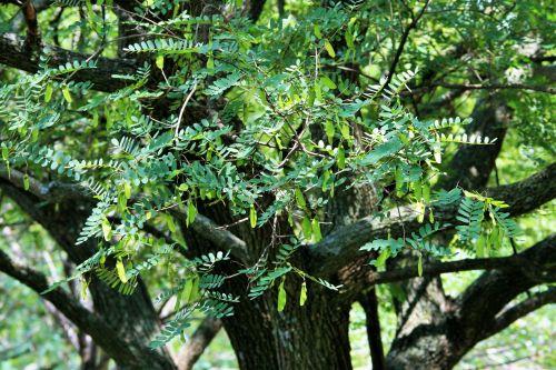 medis, tipuana, žalias, lapija, sėklos, sparnuotas, vasara, vasarą viršūnių medis