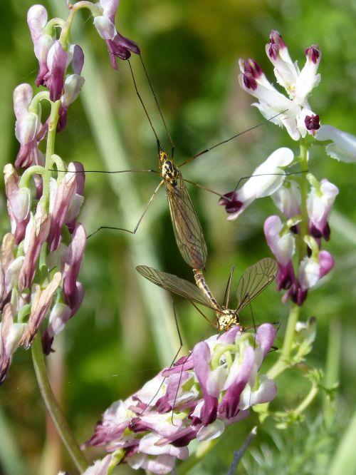 típula,uodinys,laukinė gėlė,tipúlidos,didelis uodas,poravimosi vabzdžių,kopuliavimas,vabzdžių veisimas