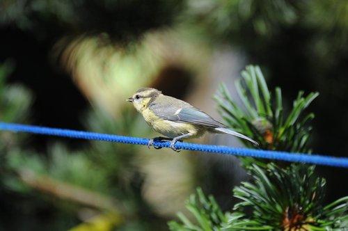 zylė, paukštis, Sodas, mielas, mėlyna TIT, mažas paukštis, sodo paukštis, jaunas