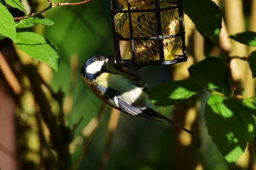 šunys,paukštis,paukščių sėkla,riebaliniai rutuliai,maitinti,priklausyti,plumėjimas,gamta,maža paukštis,mielas