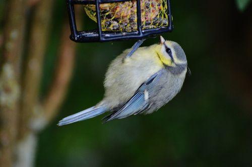 šunys, paukštis, paukščių sėkla, riebaliniai rutuliai, maitinti, priklausyti, plumėjimas, gamta, maža paukštis, mielas