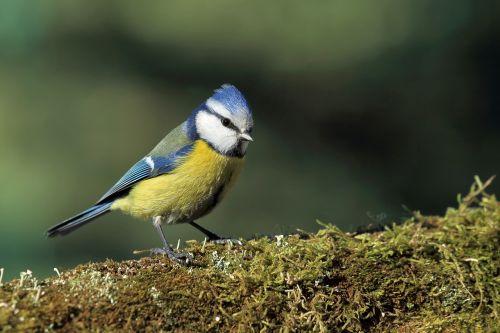 Ti Modra, Paukštis, Samanos, Gamta, Samanos Miškas, Žalias