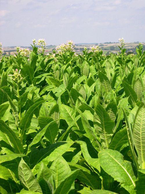 tabakas,ariama žemdirbystė,pasėlių,Lenkija,vasara,Žemdirbystė,ūkis,kaimas,laukas
