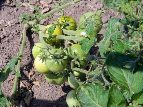 pomidoras,kodėl,pomidorai filiale,pomidorai,daržovės,šiltnamyje,maistas,vegetariškumas,mityba,vyšniniai pomidorai,pomidorai arti dacha,vyšnia