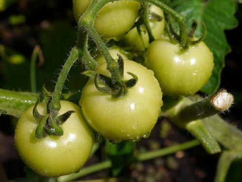 pomidoras,daržovių,maistas,šviežias,sveikas,ekologiškas,raudona,natūralus,vaisiai,virtuvė,salotos,mityba,ingredientas,gamta,žaliavinis,sodas,bakalėja,pagaminti,bakalėja,ūkininkas,namuose,veislė,derlius,turgus,palikuonys,žalias,Žemdirbystė,stiebas,derlius