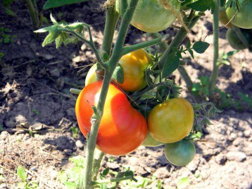pomidoras, pomidorai, kodėl, šiltnamyje, pomidorai filiale, raudona, daržovės, vegetariškumas, maistas, mityba, pomidorai arti