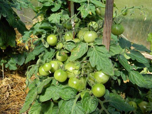 pomidoras, pomidorai, kodėl, šiltnamyje, pomidorai filiale, daržovės, vegetariškumas, maistas, mityba, pomidorai arti vyšniniai pomidorai, vyšnia