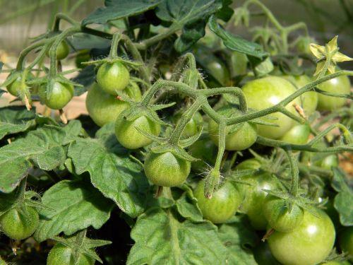 pomidoras, pomidorai, kodėl, šiltnamyje, pomidorai filiale, daržovės, vegetariškumas, maistas, mityba, pomidorai arti vyšniniai pomidorai, vyšnia, makrokomandas