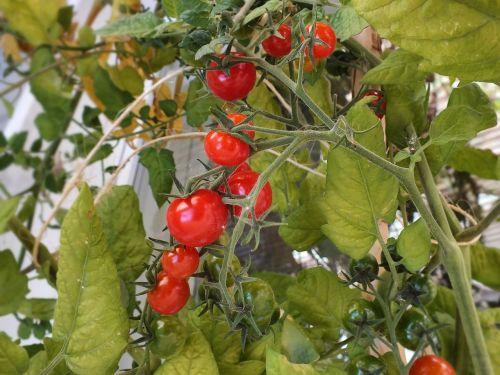 pomidorai,mini pomidorai,maistas,daržovės,raudona,pomidoras,užkandis,naminis,daržovių,auga,augantys pomidorai
