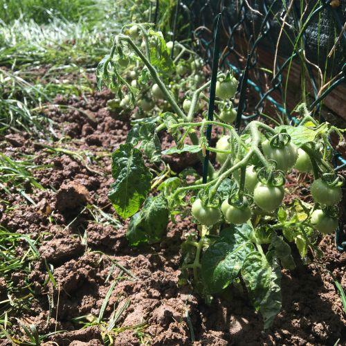 pomidorai,žalias,daržovės,daržovių,ekologinis,ekologiškas,pomidoras,sodas,sveikas,vynuogių pomidorai,kanapių pomidorai