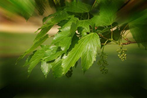tonas tonas,žalias lapas,spinduliai,augalas,grožis,gamta,gražus