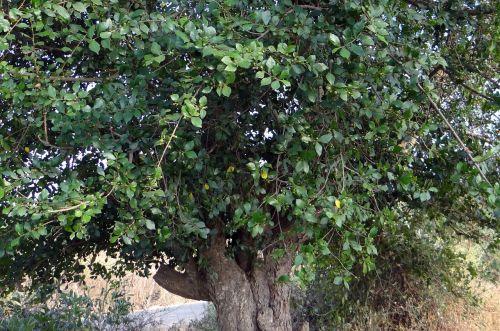 dantų šepetėlių medis,švitrinio popieriaus medis,streblus asper,хулкитти,Indija,medis,ekologiškas,Žemdirbystė,lauke,aplinka,bagažinė,lapai,filialai,gamta