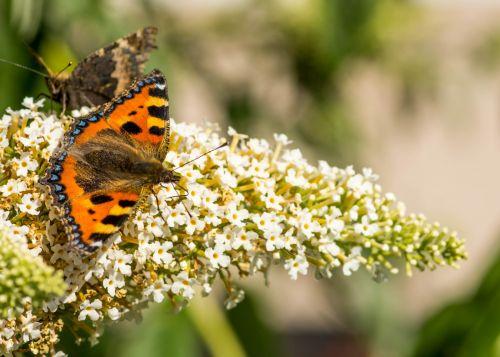 banginių paukštis & nbsp, drugelis & nbsp, buddlier & nbsp, augalas, komercinė & nbsp, naudoti & nbsp, nuotrauką, drugelis & nbsp, nuotrauka, vabzdys, nuotrauka, komercinis & nbsp, naudoti & nbsp, drugelis, vėžlys, drugelis ant buddlierio