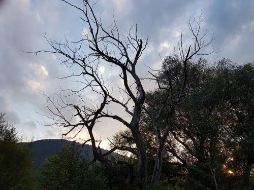 medis, miręs & nbsp, medis, plikas, miręs, vasara, saulėlydis, lapai, saulės šviesa, žalias, gamta, kraštovaizdis, krūmai, miręs medis saulėlydžio metu