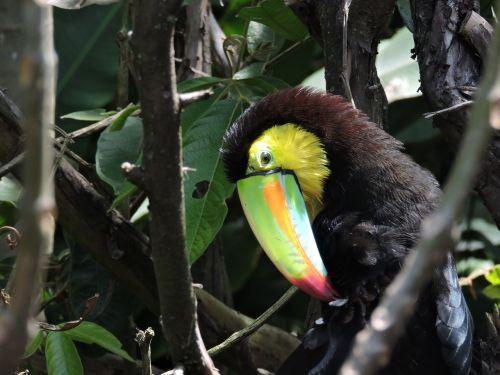 Toucan,piko,egzotinė paukštis,tucan,paukštis,ave,gyvūnai,fauna,egzotiškas,spalva,spalvinga,plumėjimas,atogrąžų paukštis,gražus,plunksnos,spalvos,gamta,džiunglės,akys,didelis piko