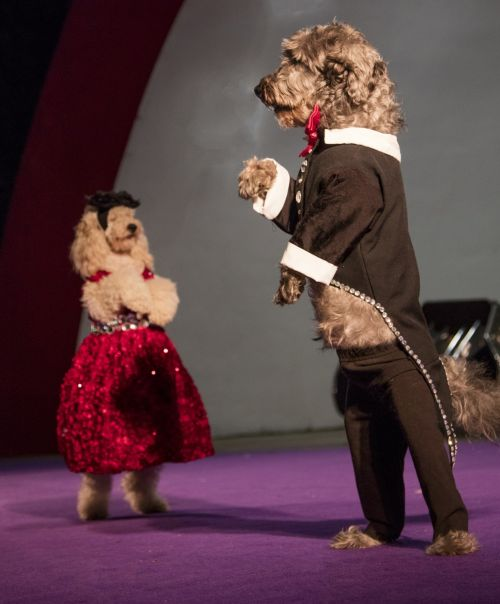 šunys, mielas, treniruotas, Rodyti, atlikėjai, veikti, olate, kostiumai, suknelė, šunys, stovintis, vaikščioti, viešasis & nbsp, domenas, tapetai, highsmith, fonas, talentas, olate & nbsp, šunys, pants, scena, apmokyti šunys