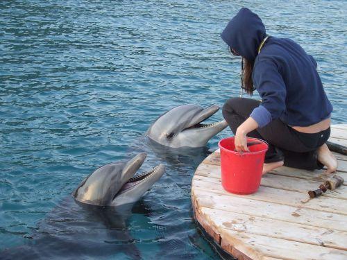 treneris su delfinais,du delfinai,treneris,vandenynas,jūrų,delfinas,žinduoliai